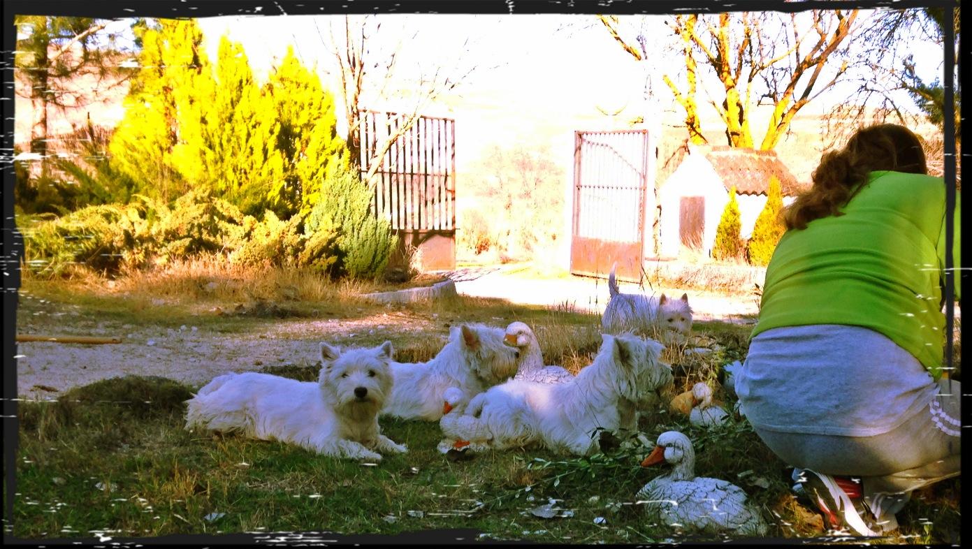Westies Demerino observando en el jardín