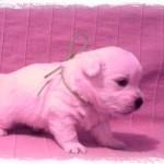 Cachorro de Pequeño Saltamontes Demerino y Vera con 27 días, investigando en el sofá
