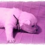 Cachorro de Pequeño Saltamontes Demerino y Vera, investigando en el sofá con 27 días