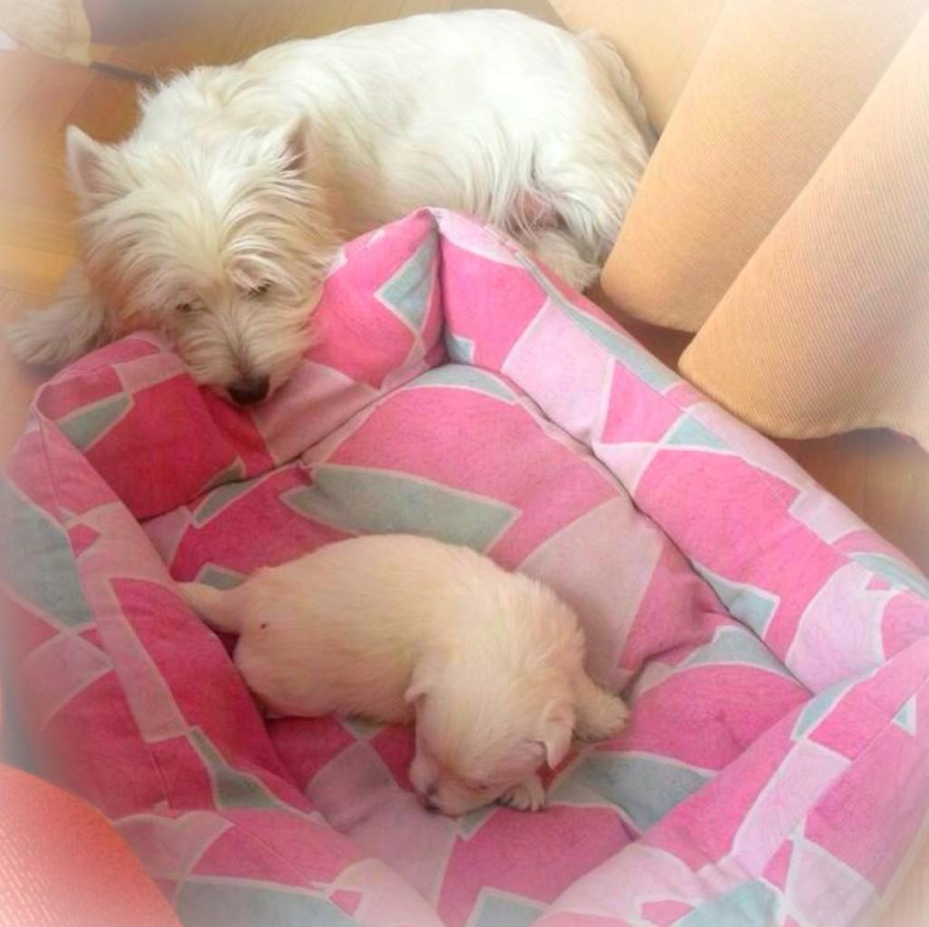 Cachorro de la camada de Pequeño Saltamontes Demerino y Vera, durmiendo con mamá