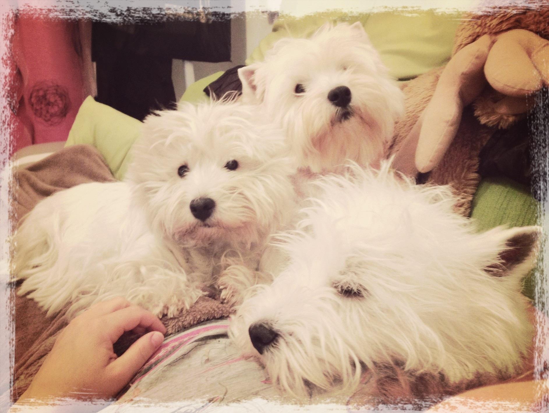 Tres westies Demerino descansando en el sofá