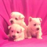 Cachorros de Pequeño Saltamontes Demerino y Vera con 6 semanas en el sofá