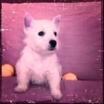 Cachorro macho hijo de Pequeño Saltamontes Demerino y Vera, en el sofá