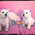 Cachorro macho hijo de Pequeño Saltamontes Demerino y Vera, con sus hermanos en el sofá