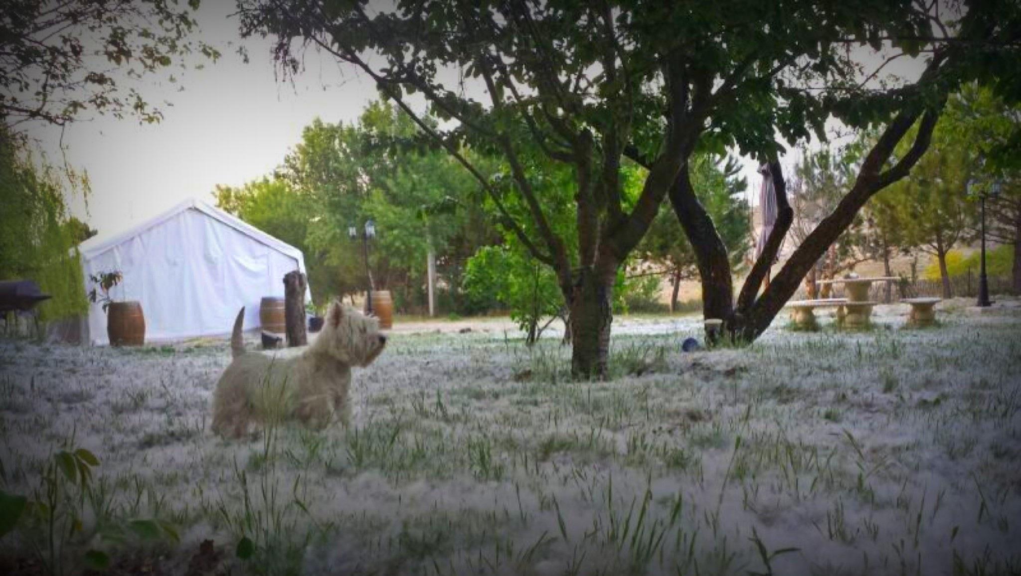 Westie Demerino en el jardín