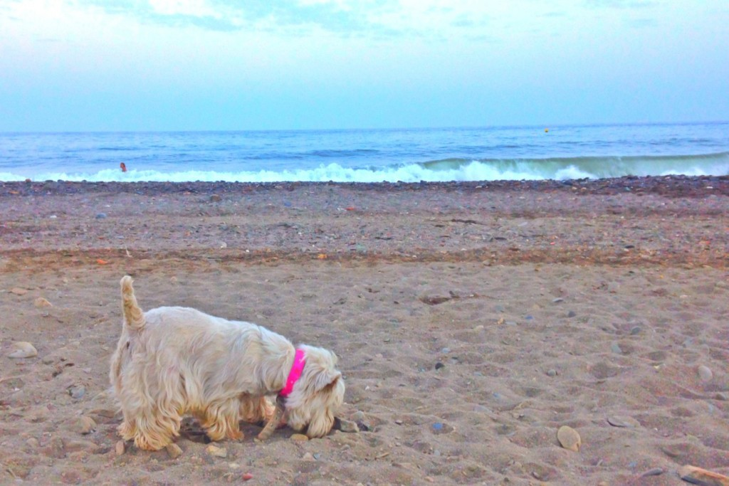 Westie Demerino buscando en la playa de Málaga