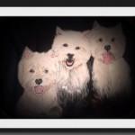 Cuadro westies: Coni, Yari y Yeyé