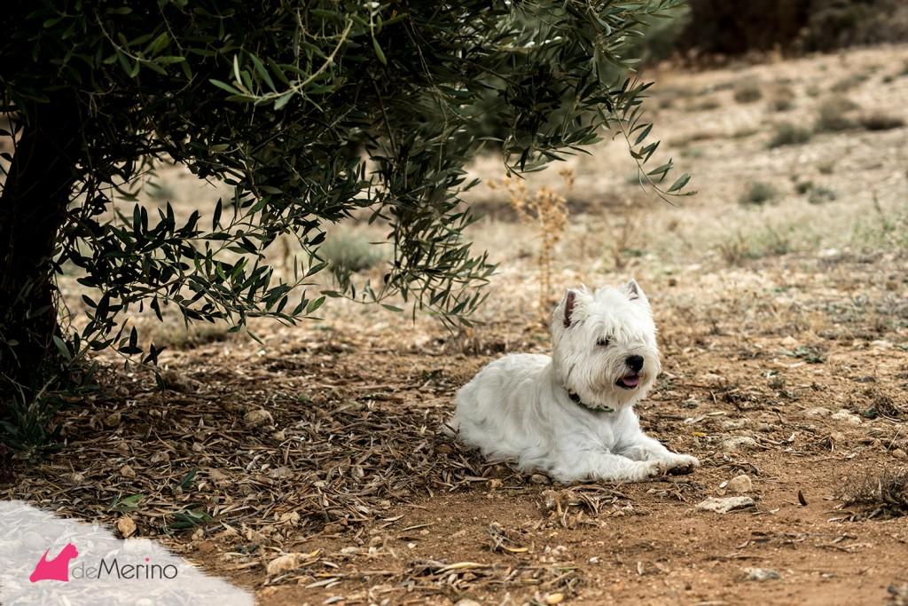 Paseo con los mejores westies: westie descansando bajo el olivo