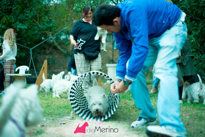 II Encuentro Westies Demerino and Friend - Prueba de agility