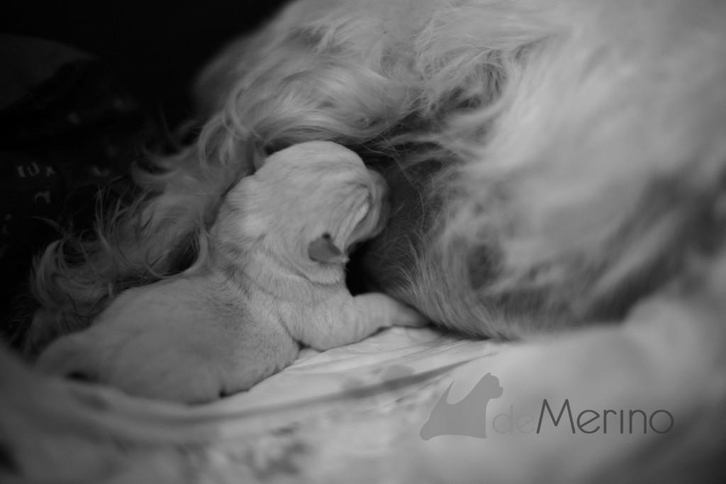 Cachorro de la camada de Vhella Demerino, mamando apenas unos minutos de haber nacido