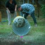 II encuentro de westies Demerino and friends - juegos con pruebas de agility: westie pasando un túnel.