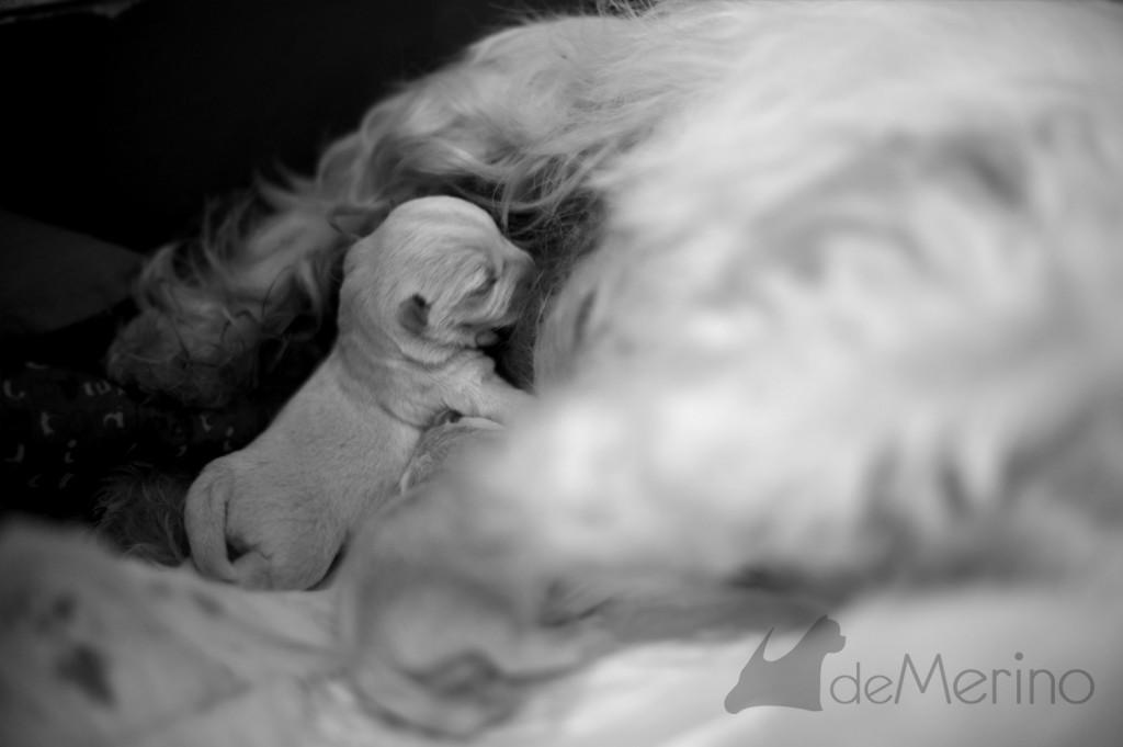 Cachorros de la camada de Vhella Demerino - mamando