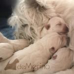 Cachorros de westie abrazados por su mamá Vhella Demerino