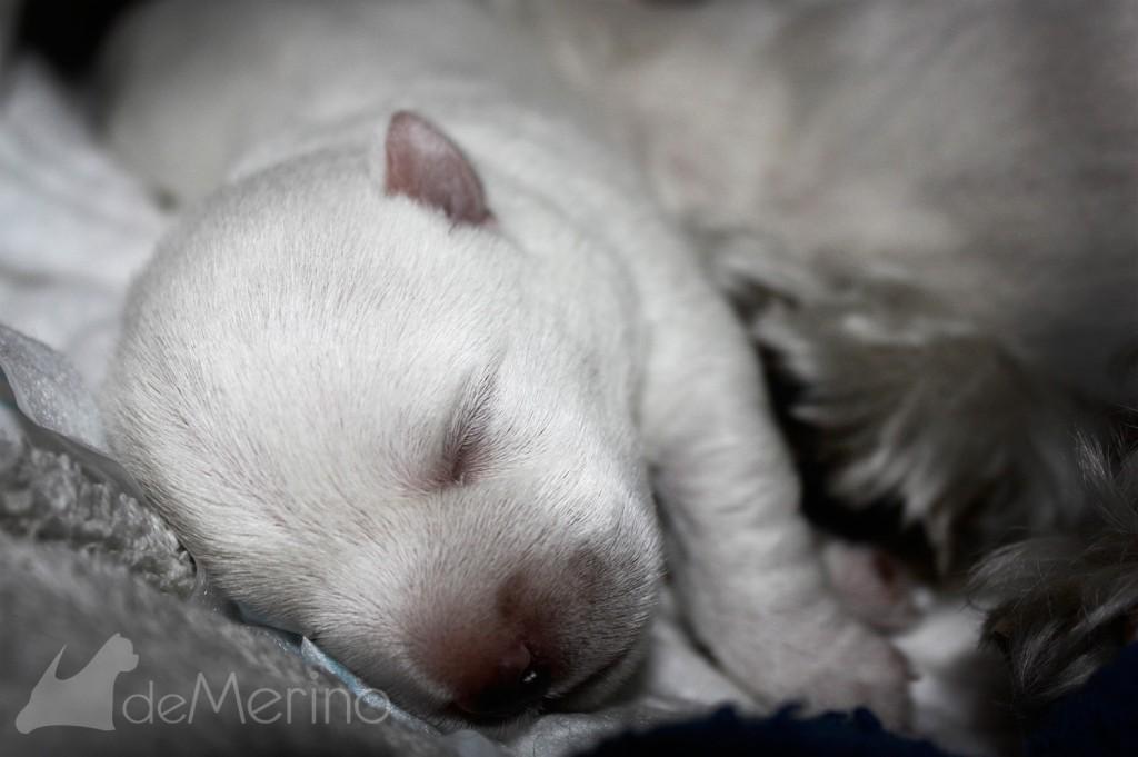 Cachorro de wetie hijo de Vhella Demerino descansando