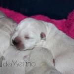 Cachorros de Vhella con 6 días
