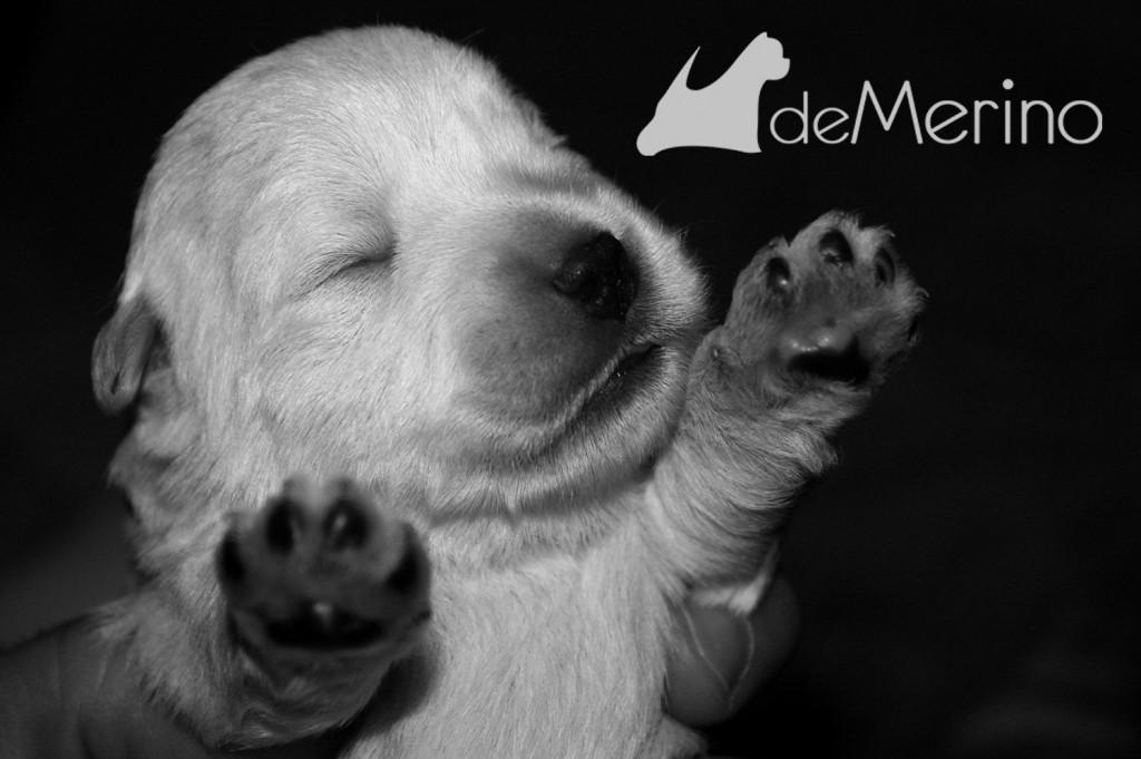 Cachorro de la camada de Vhella cogido en la mano