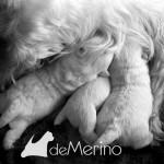 Vhella Demerino amamantando a sus cachorros con 10 días
