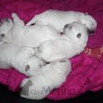 Cachorros Demerino de West Highland White Terrier con 11 días durmiendo