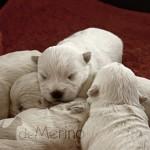 Cachorros de Vhella Demerino, westies de 12 días durmiendo