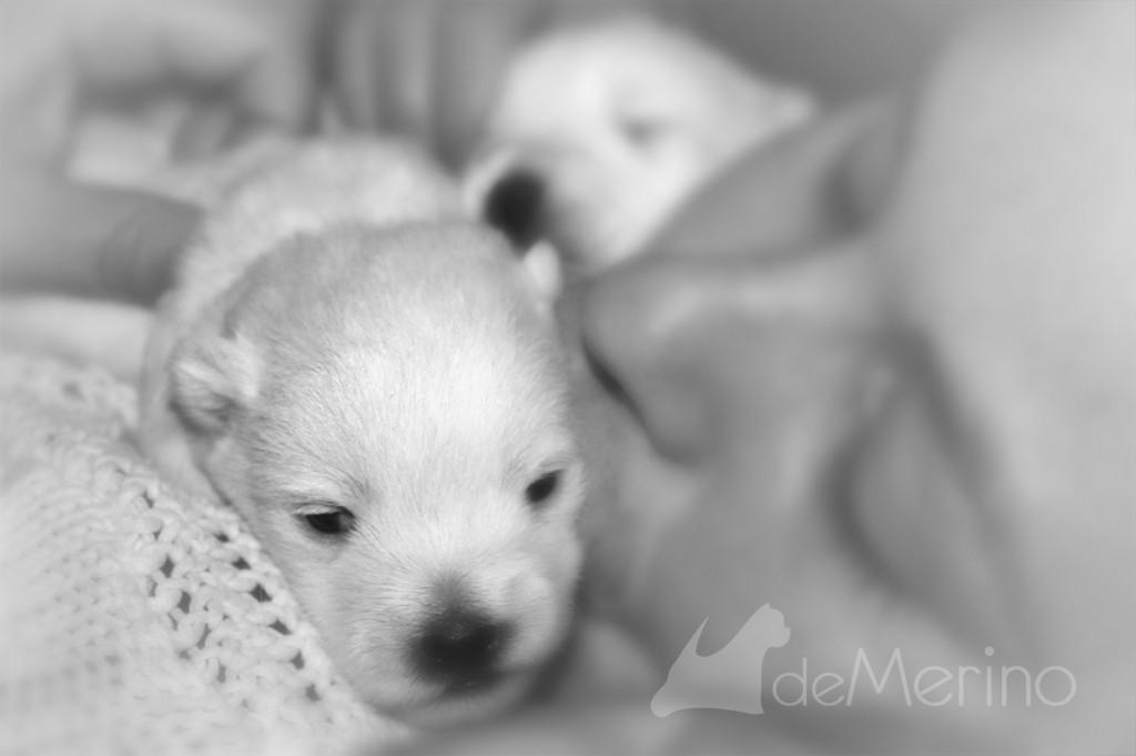 Cachorro westie de la camada de Vhella Demerino y Only You Demerino, besado en el sofá en familia