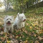 Westies Demerino jugando en el campo de otoño