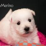 Cachorro westie de la camada de Vhella Demerino con 30 días sentado y atento
