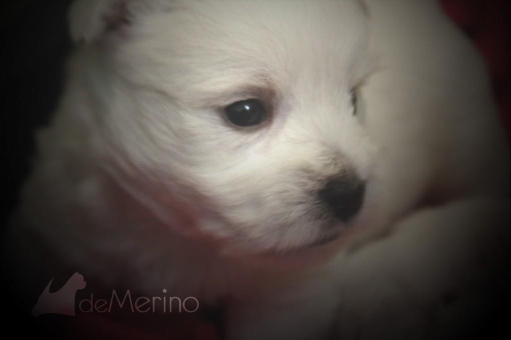 Cachorro westie de la camada de Vhella Demerino con 30 días