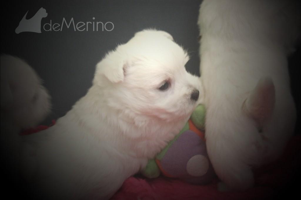 Cachorro westie de la camada de Vhella Demerino con 30 días investigando