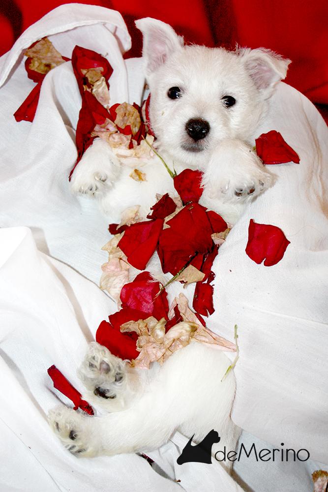 Alegría De Mi Casa Demerino, cachorra de westie posando entre pétalos de rosa