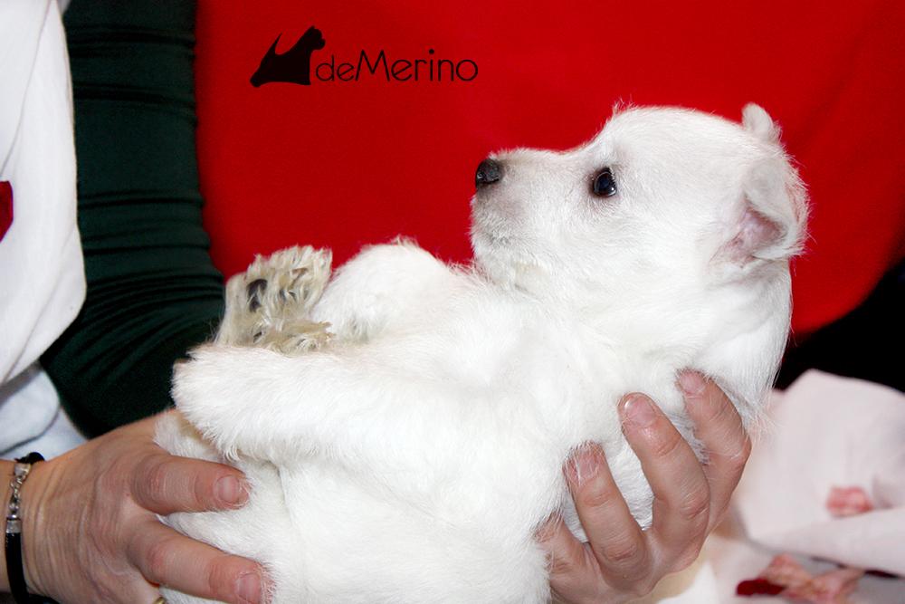 Alegría De Mi Casa Demerino, cachorra de westie posando entre pétalos de rosa en brazos