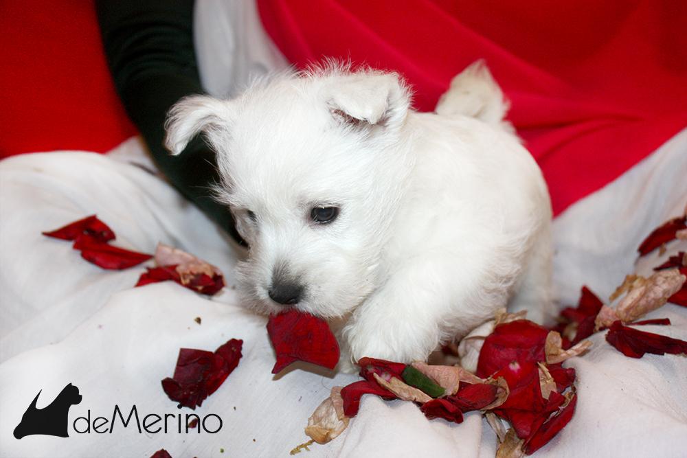 A Mi Me Gusta Demerino, cachorra de westie jugando con los pétalos de rosa