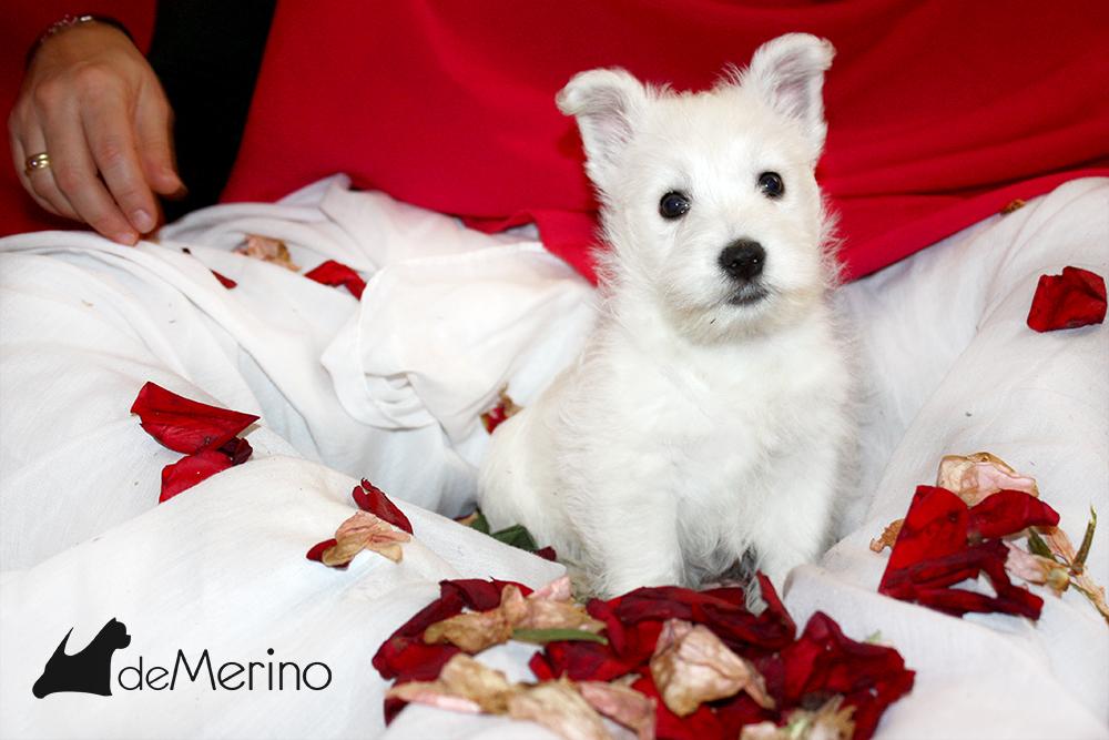 A Mi Me Gusta Demerino, cachorra de westie posando con pétalos de rosa