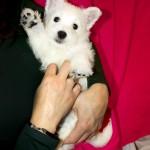 A Mi Me Gusta Demerino, cachorra de westie en brazos saludando con la pata