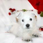 Agua Viva Demerino, cachorra de westie posando con pétalos de rosa