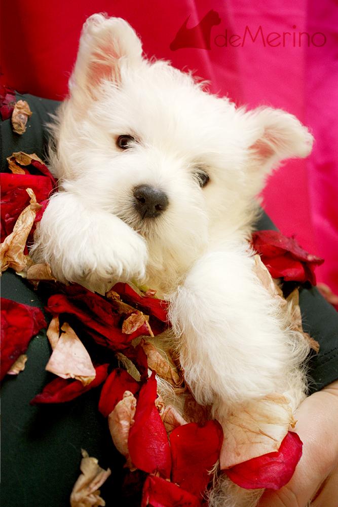 Aguacate Demerino, cachorra de westie posando con pétalos de rosa en brazos