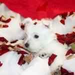 Aguacate Demerino, cachorra de westie posando con pétalos de rosa