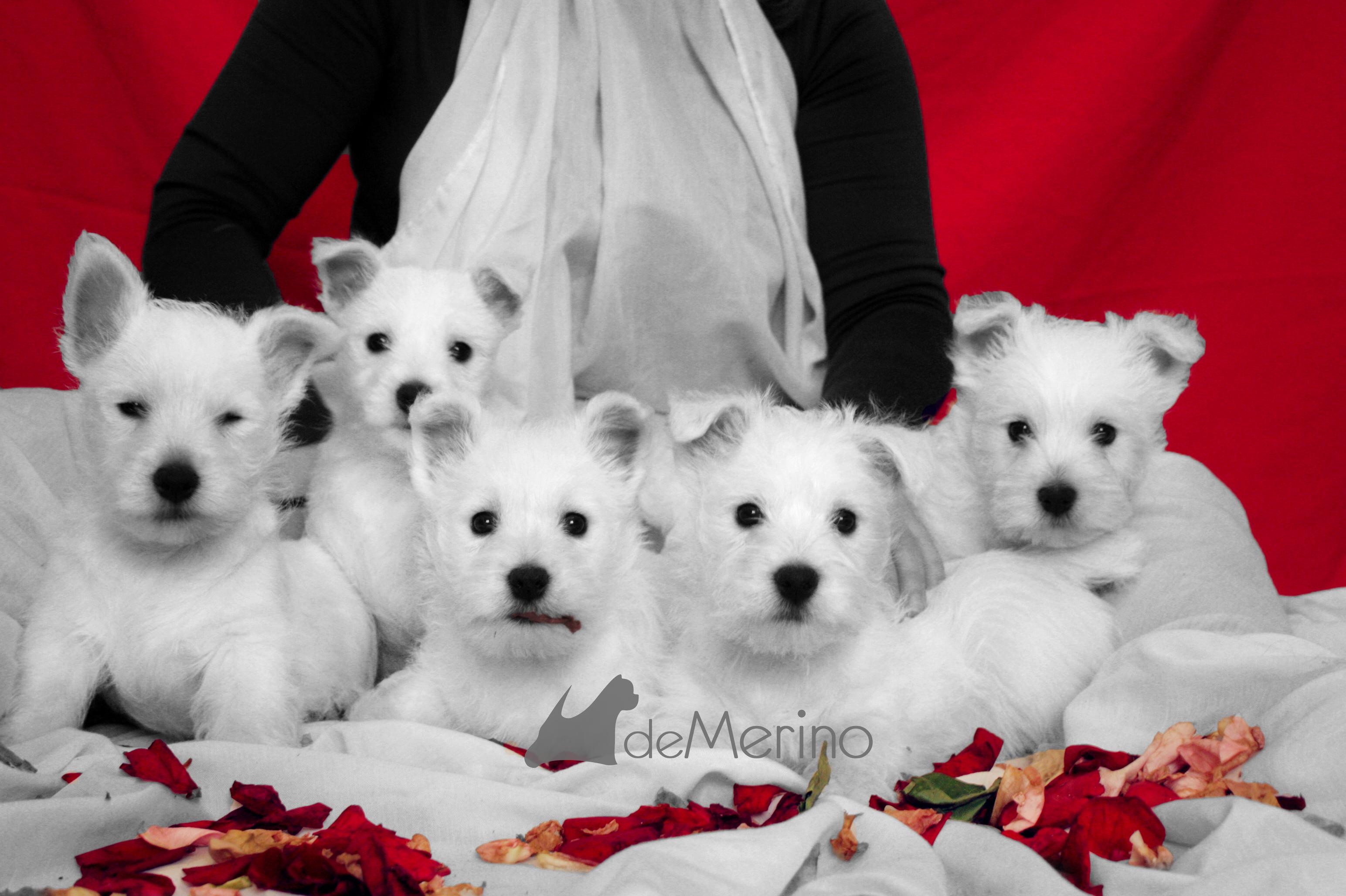 Cachorros de la camada de Vhella Demerino y Only You