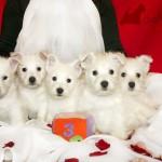 Cachorros de la camada de Vhella Demerino y Only You Demerino