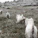 Paseo de westies Demerino y amigos por la sierra de Segovia, por el hielo