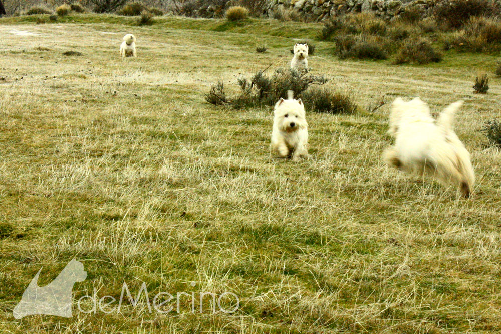 Paseo de westies Demerino y amigos por la sierra de Segovia