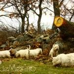 Paseo de westies Demerino y amigos por la sierra de Segovia, entre piedras y troncos