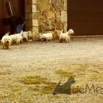 Paseo de westies Demerino y amigos en un pueblo de la sierra de Segovia