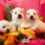 Cachorros de Menta Demerino jugando entre frutas