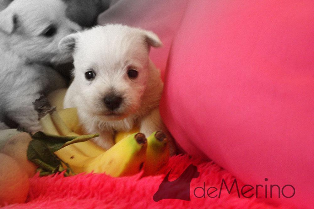 Cachorro de Menta Demerino entre plátanos