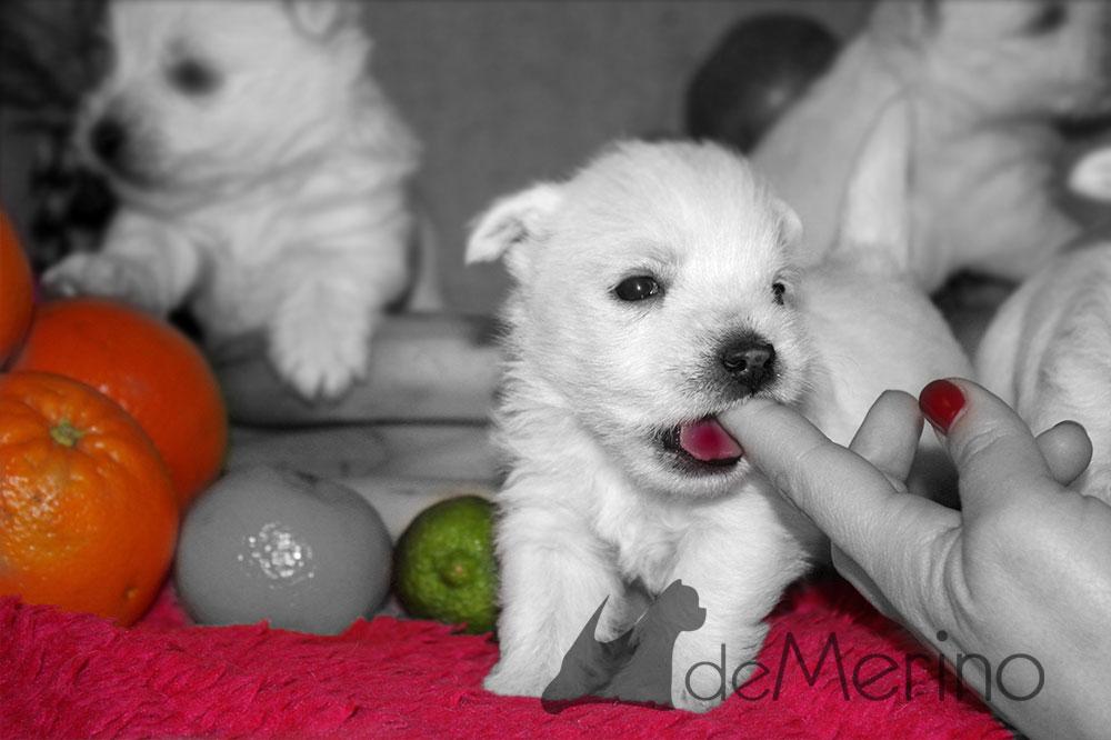 Cachorro de Menta Demerino entre frutas, jugando con el dedo de mamá