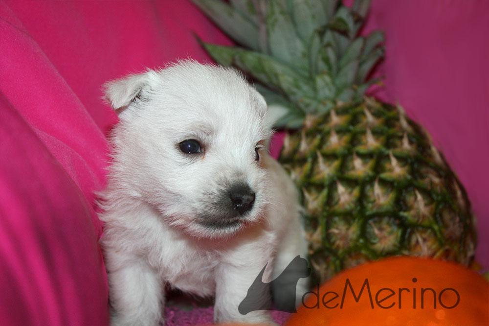 Cachorro de Menta Demerino entre frutas, con una piña