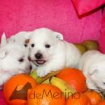 Cachorro de Menta Demerino jugando entre frutas