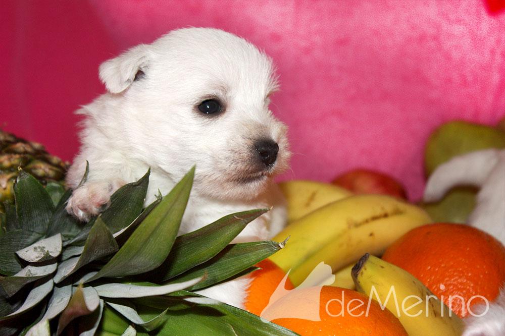 Cachorro de Menta Demerino entre frutas