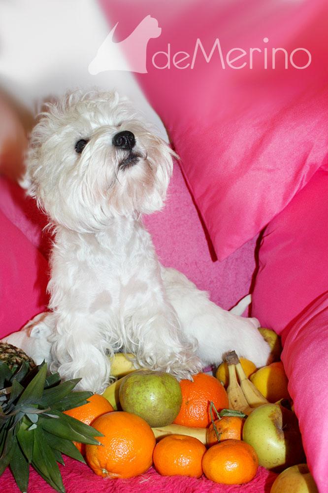 Menta Demerino con sus cachorros jugando entre frutas