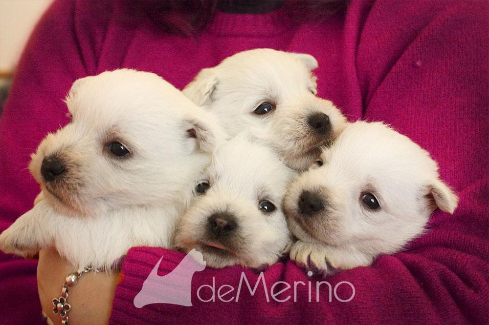 Cachorros de Menta Demerino en los brazos de la criadora